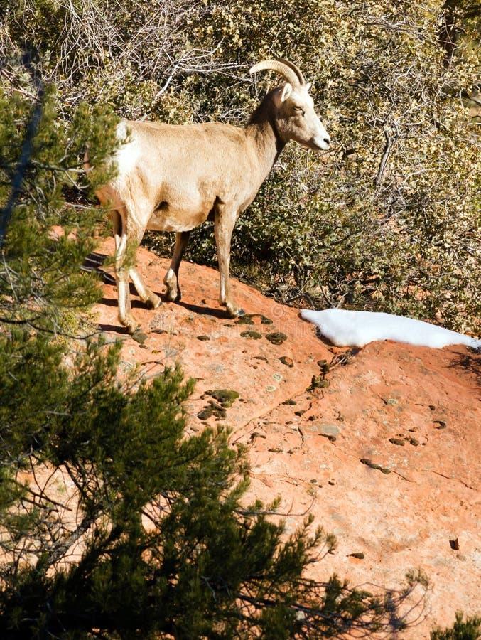 Sentry козы горы дикого животного фланк диапазона высокогорного защищая стоковые фотографии rf
