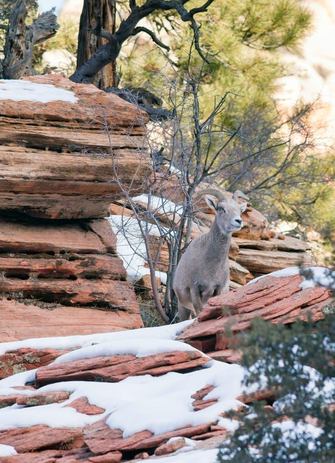 Sentry козы горы дикого животного фланк диапазона высокогорного защищая стоковое фото rf