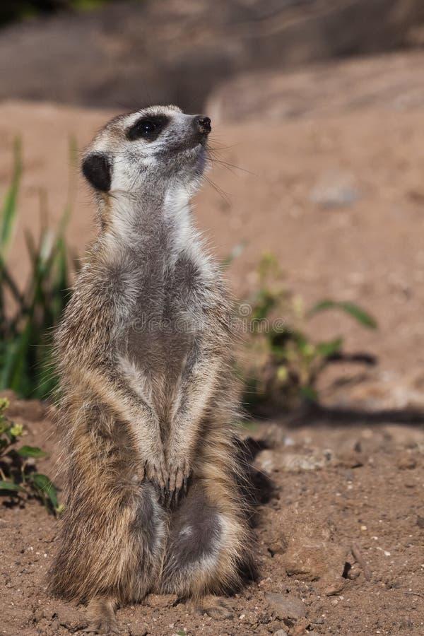 Sentry al post A watchful peppy meerkat Timon su uno sfondo desertico sabbioso osserva da vicino immagini stock libere da diritti