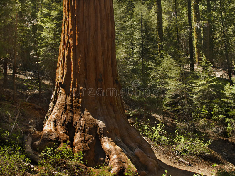Sentry sequoia. Base of a sequoia in Mariposa Grove, Yosemite stock photo