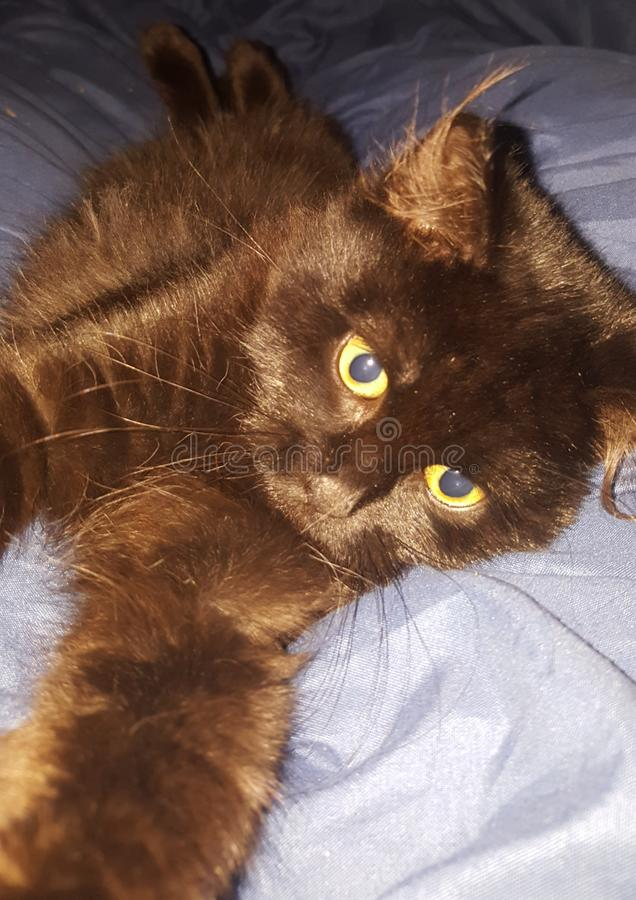 Senza denti il gattino fotografia stock