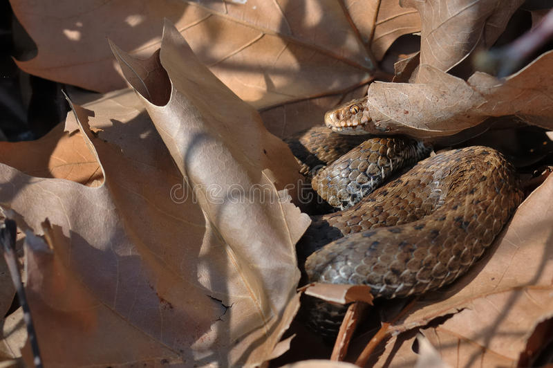 Download Seoane's Viper (Vipera Seoanei) Stock Photo - Image: 34194902