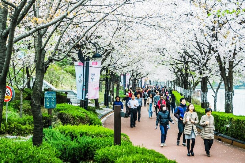 Seokchonhosu sjö Cherry Blossom Festival arkivfoton