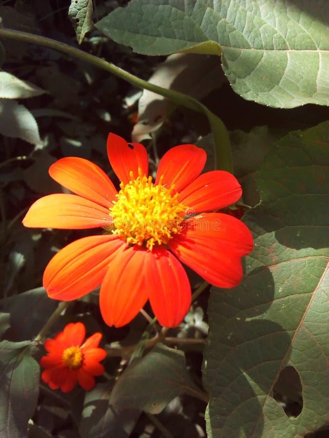 Sepal λουλούδι στοκ φωτογραφίες με δικαίωμα ελεύθερης χρήσης