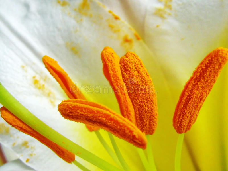 Sepali del giglio reale bianco - il Lilium regale immagine stock libera da diritti