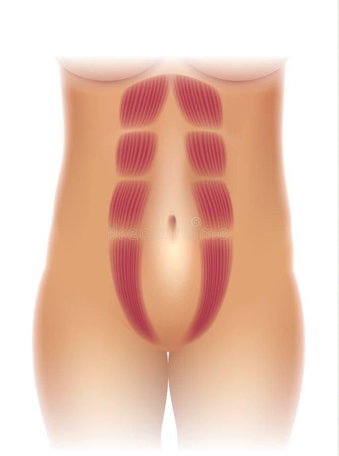 Separação abdominal ilustração royalty free