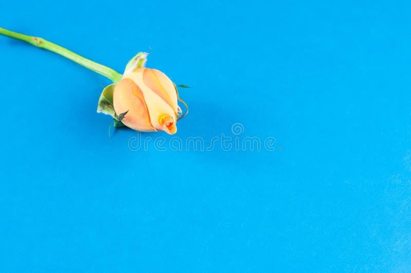 Separat dvärg- kinesiska rosor för blomma med orange kronblad, närbild på en blå bakgrund arkivbild