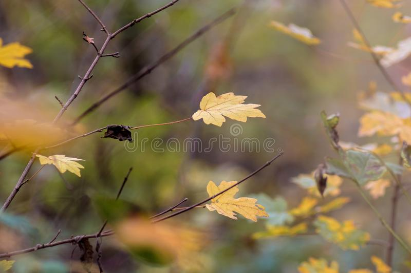 Separate dry orange maple leaves on a tree in the forest in the fall_ stock image