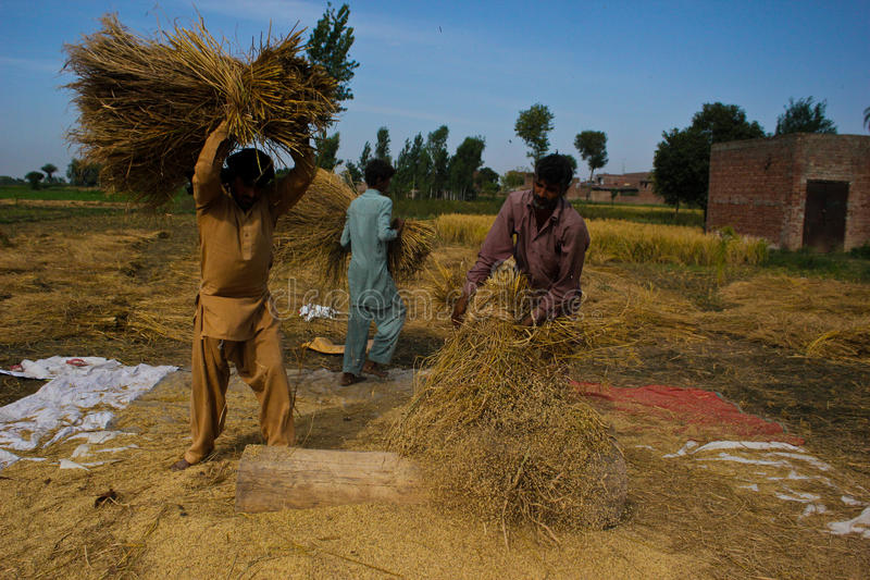 Separating Rice grains. The photograph is taken at the time of rice season in Punjab (Pakistan), people get up early in the morning and start their work in the stock photography