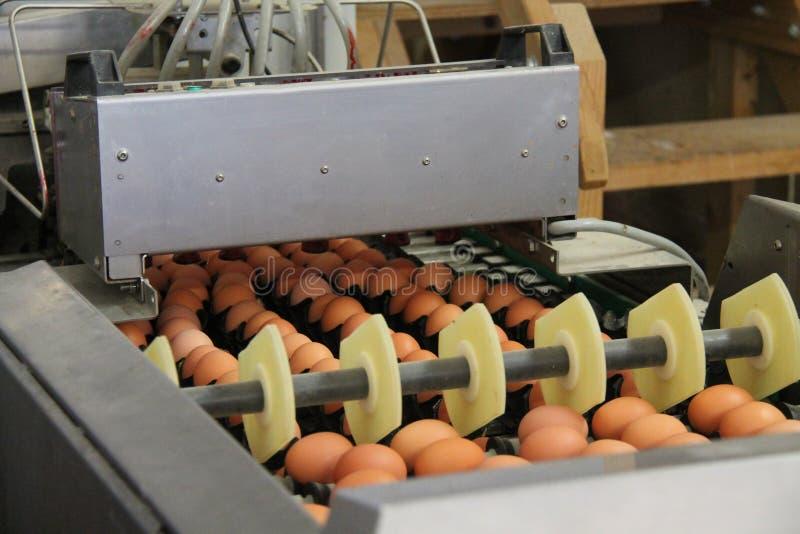 Separazione ed imballaggio dell'uovo fotografia stock