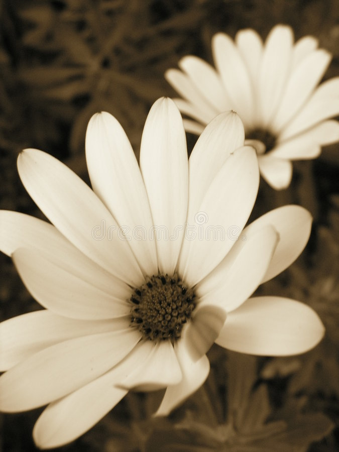 Sepia bloom stock images