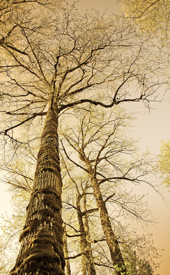 Download Sepia colored old trees stock image. Image of branch, nature - 786179