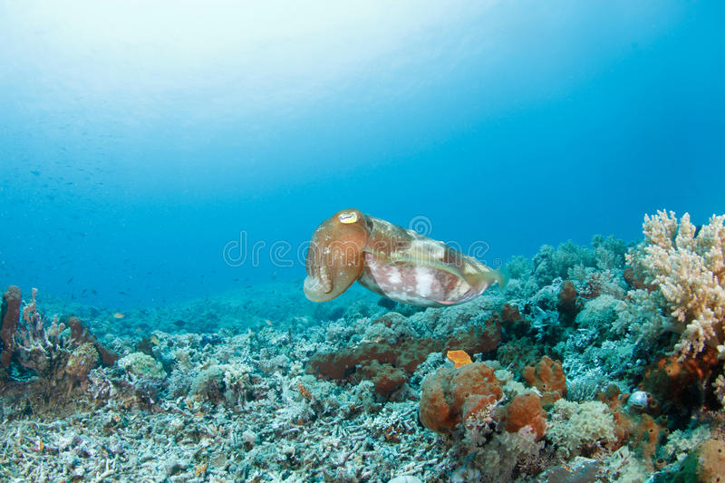 Download Sepia or cuttlefish stock image. Image of coral, reef - 21821667