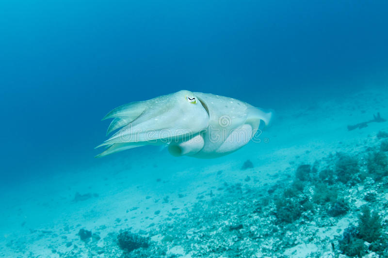 Sepia or cuttlefish. A swimming Sepia also known as cuttlefish stock image