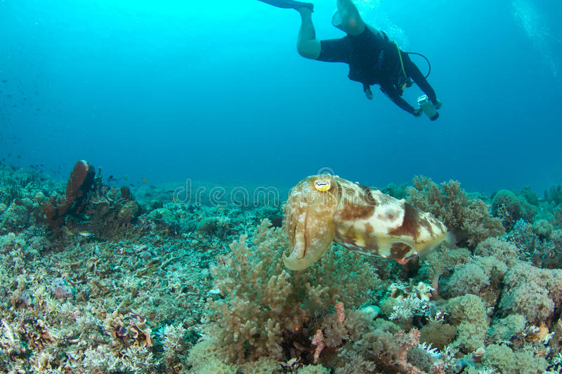 Sepia or cuttlefish and diver in the background. A sepia or cuttlefish hovering in the reef being unnoticed from the videographer/diver in the background royalty free stock photo