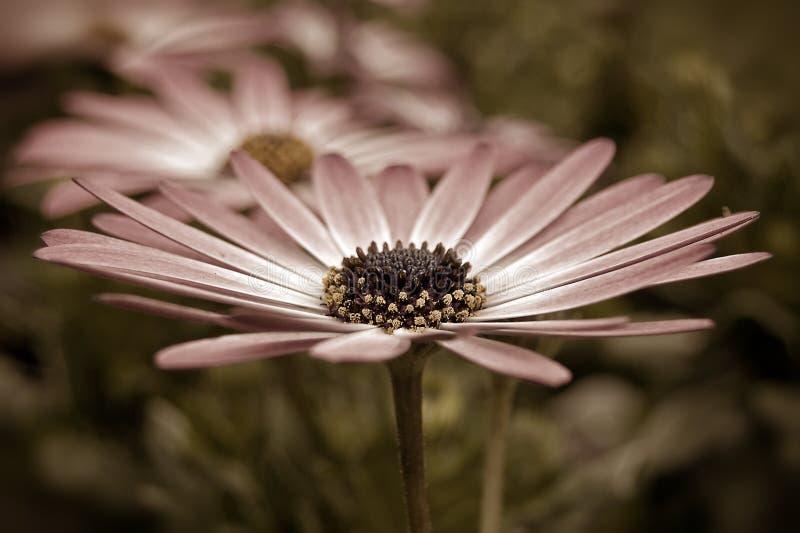 Sepia Daisy royalty free stock photography