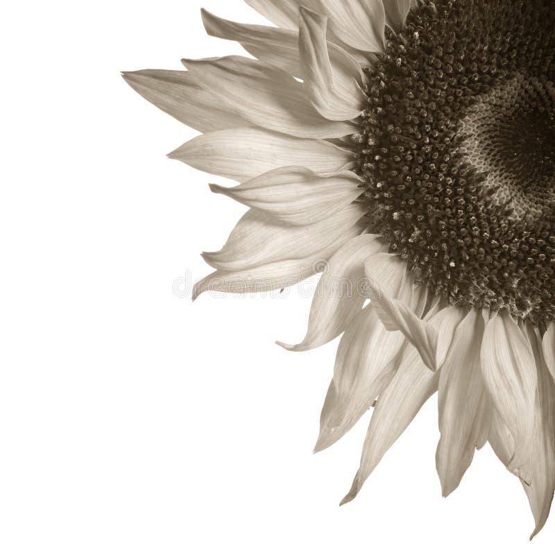 Sepia gestemd zonnebloemdetail stock afbeeldingen