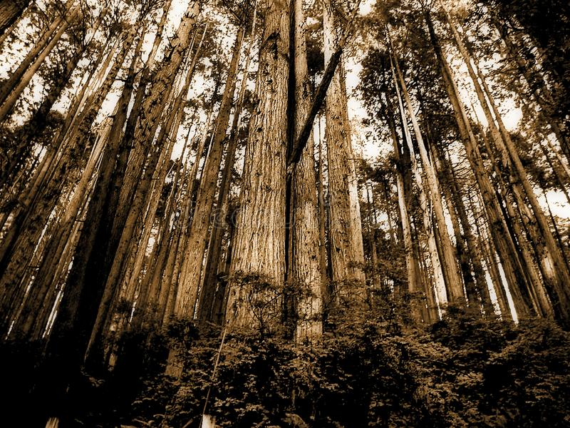 Sepia Photo of Forest royalty free stock image
