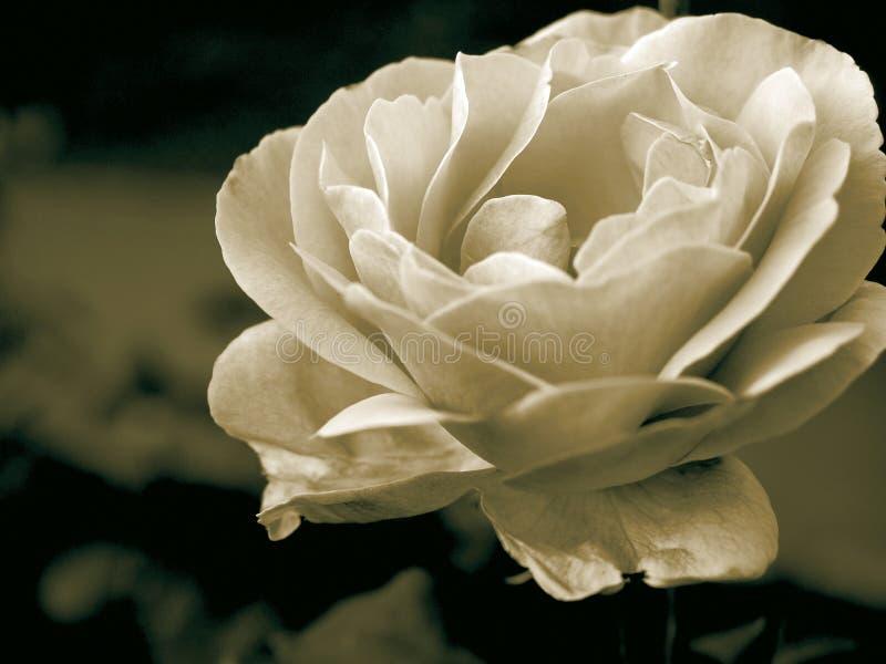 Sepia Rosa foto de stock