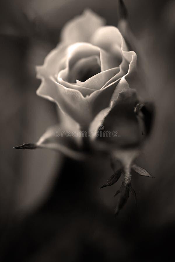 Sepia Rosa imagem de stock