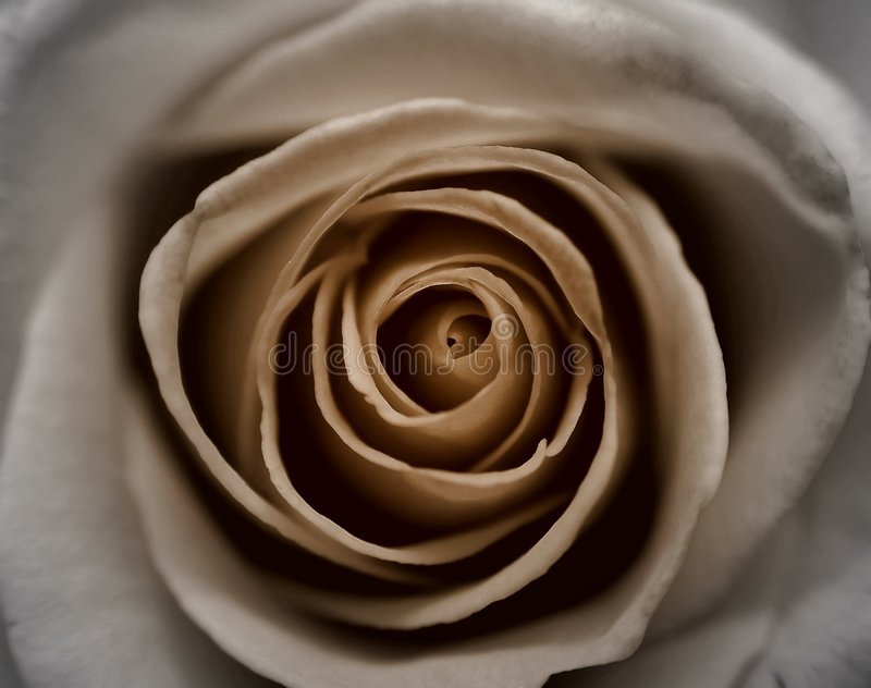 Sepia Rose royalty free stock image