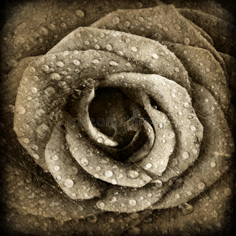 Sepia rose background royalty free stock photo