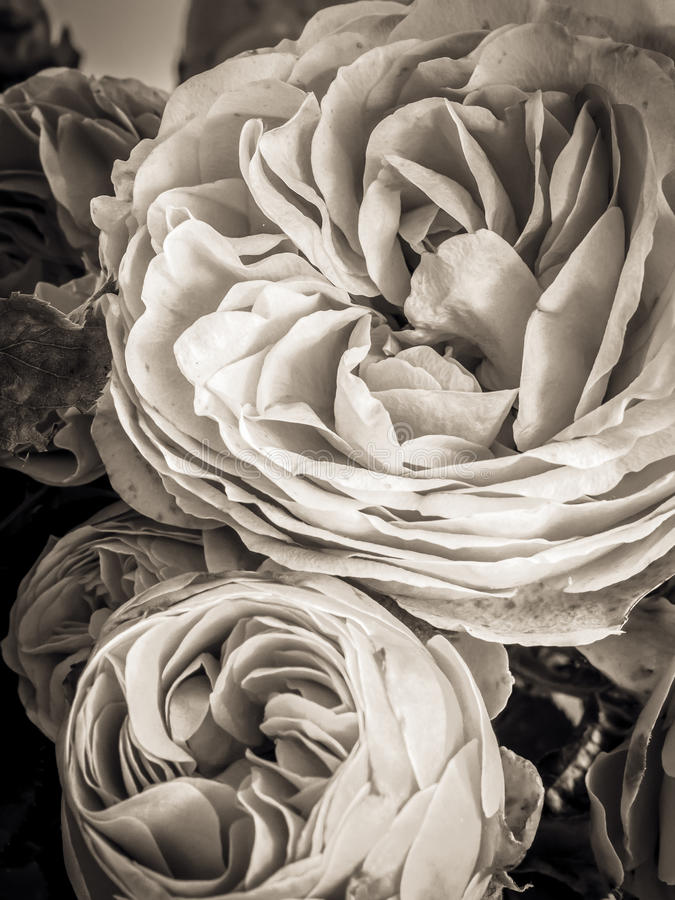 Sepia Rose. Lovely dying Sepia Rose Flower royalty free stock images