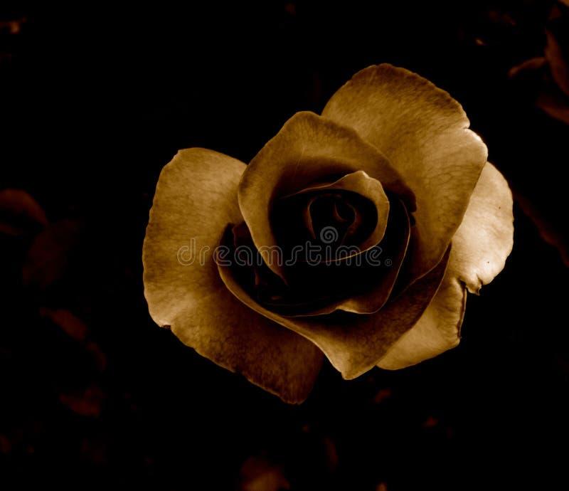 Sepia Rose royalty free stock photos