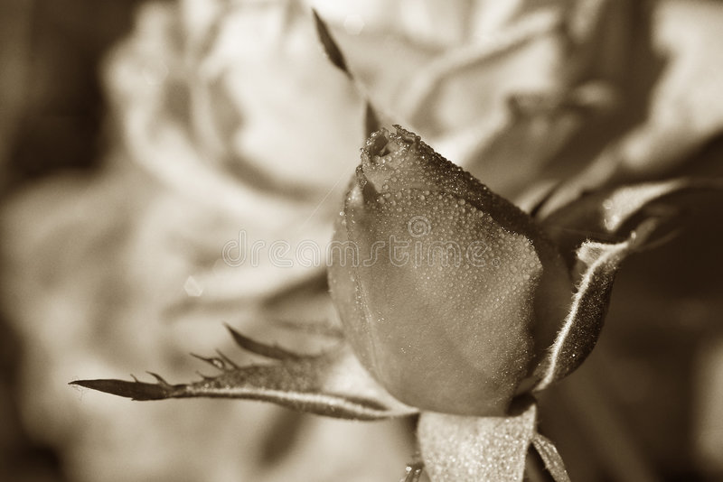 Sepia Rosebud im Tau stockfotografie