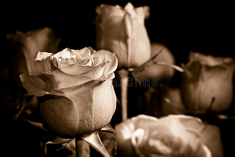 Sepia Roses Stock Image