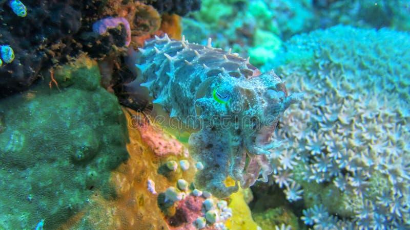 Sepia sobre el arrecife de coral de la vista delantera La sepia multicolora observa los alrededores Corales suaves y duros del ma fotografía de archivo