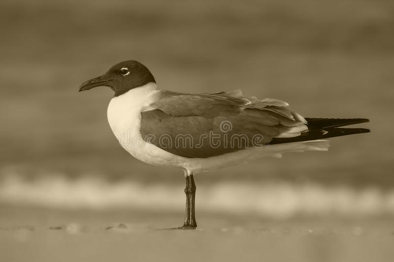 Sepia tone bird on beach. Bird watching and waiting by the oceanside strong confident skiller hunter that is independent and intelligent stock photo