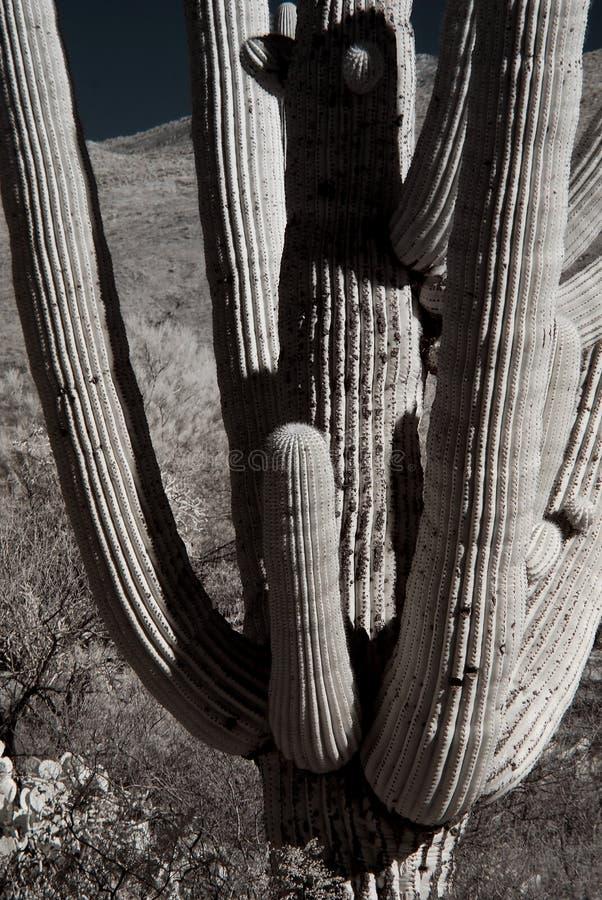 Sepia tone Saguaro Cactus Sonora desert Arizona. The Sonora desert in central Arizona USA with saguaro and cholla cactus sepia toned stock photography