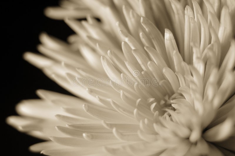 Sepia toned spider chrysanthemum stock photography
