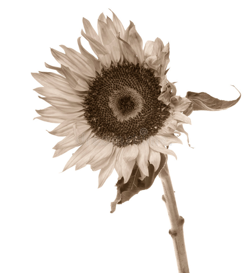 Download Sepia toned sunflower stock photo. Image of country, plant - 1077132