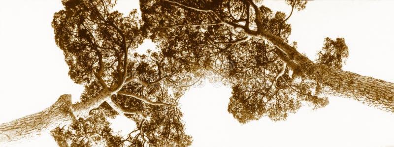 Sepia tweelingpijnbomen stock fotografie