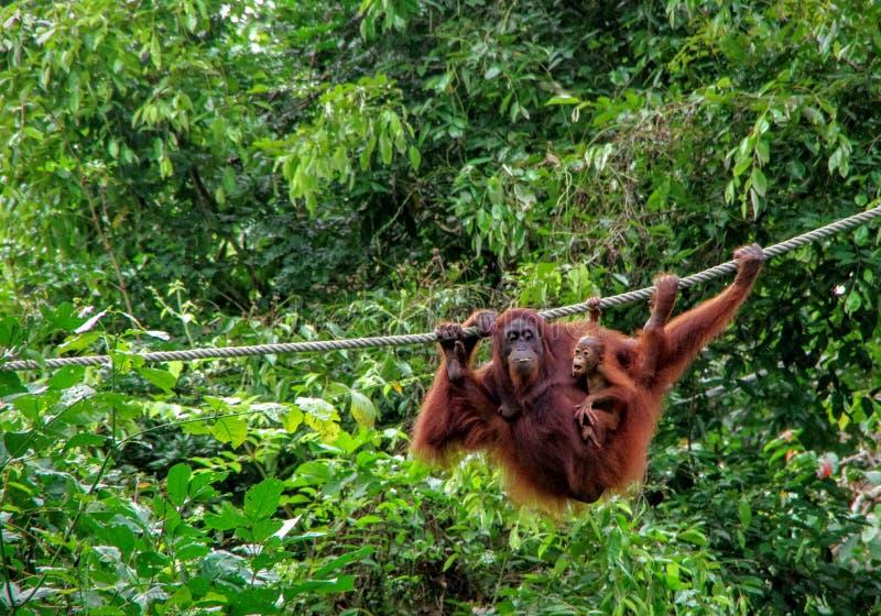Sepilok orangutang arkivbild