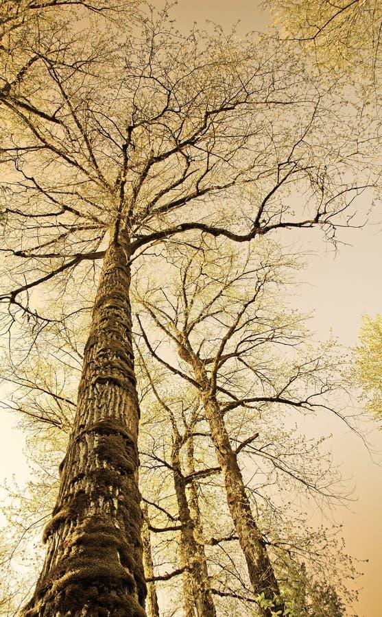 sepiowi kolorowe starych drzew obrazy royalty free