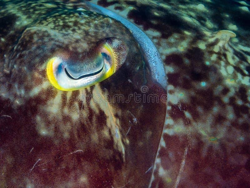 Seppia di Broadclub, sepia latimanus Sulawesi del nord fotografia stock