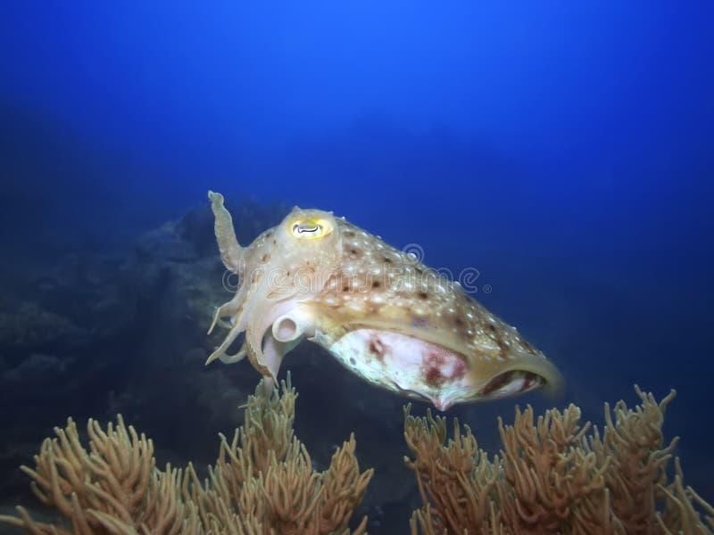 Seppie subacquee fotografia stock
