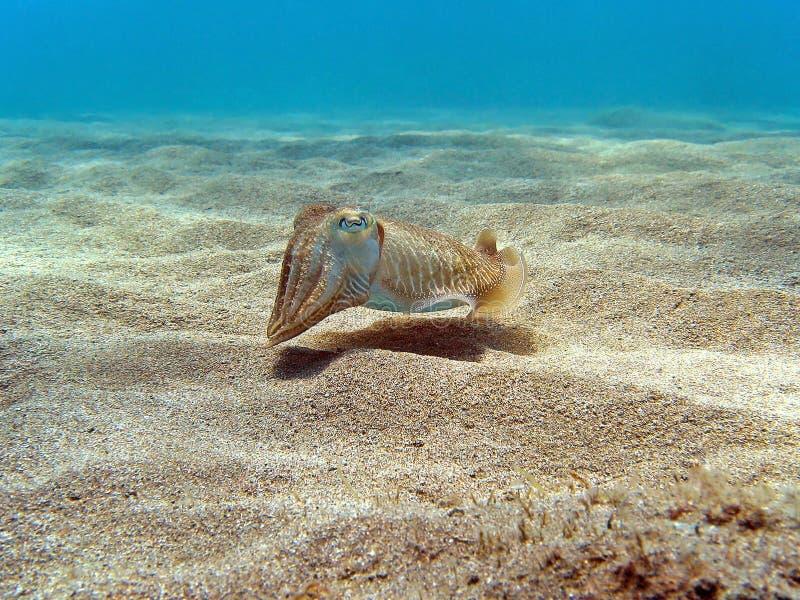Seppie sulla sabbia immagine stock