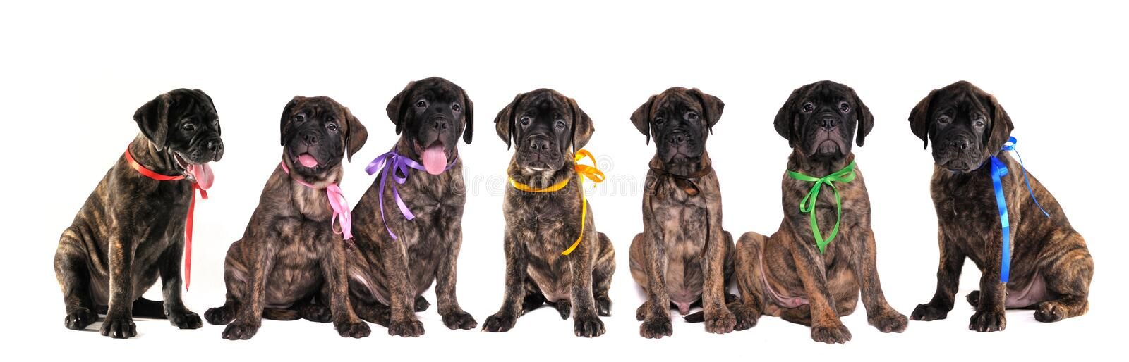 Sept chiots de bullmastiff d'isolement sur le blanc photos stock