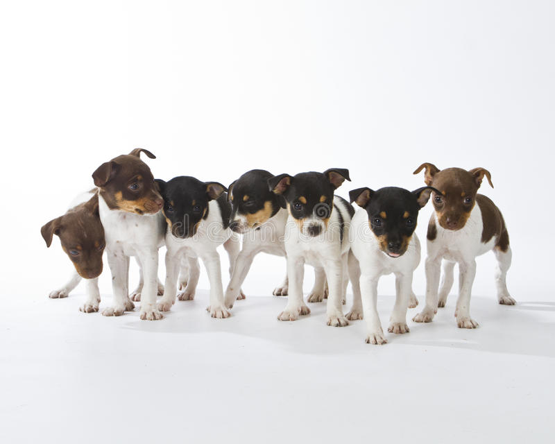 Sept chiots de chien terrier de rat photographie stock