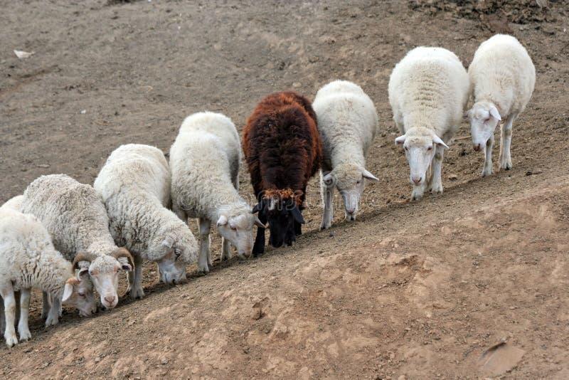 Sept moutons blancs et un bruns photo stock