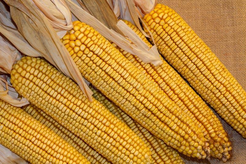 Sept oreilles de maïs sec avec des cosses ont retiré sur le fond de toile de jute image stock
