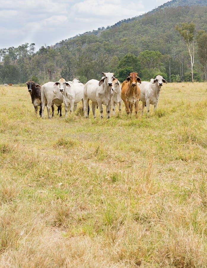Sept vaches images libres de droits