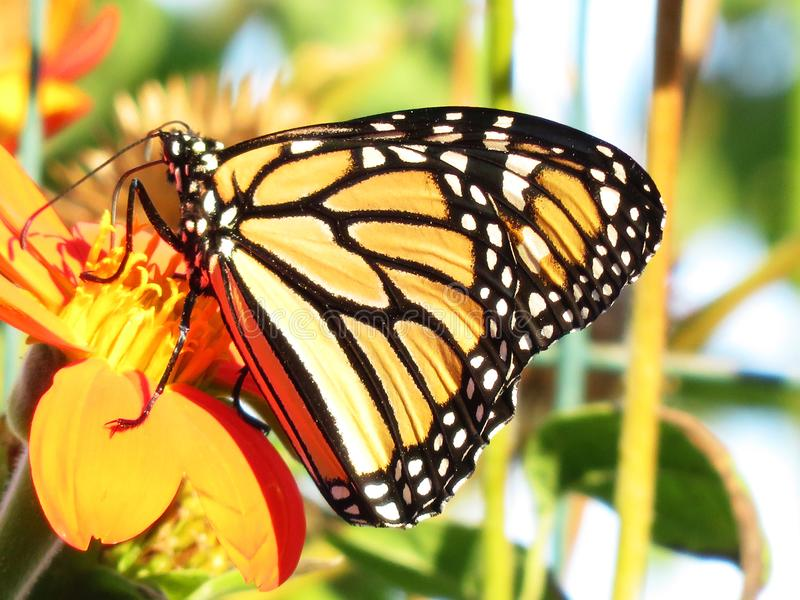 September Monarch Butterfly. Photo of monarch butterfly pollinating a flower in september as fall arrives stock image