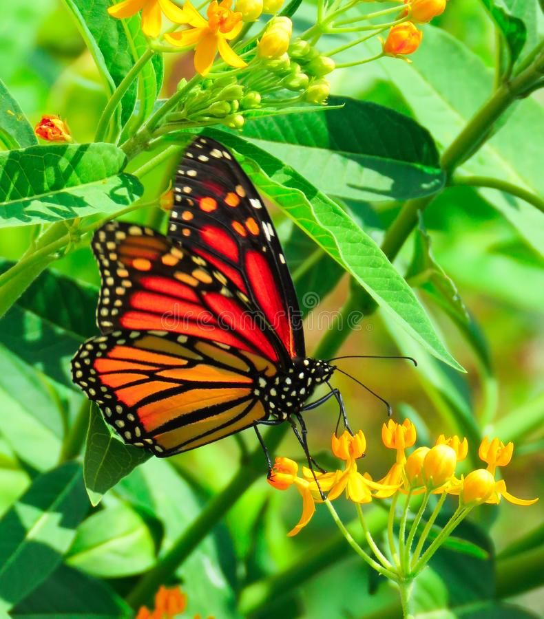 September Monarch, Milkweed butterfly on an orange colored blossom. Vibrant red, orange and gold Monarch Milkweed  butterfly, Danaus plexippus,  sitting on an royalty free stock images