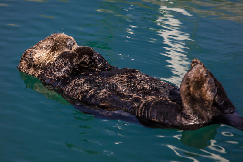 September 2, 2016 - A sea otter is floating on its back, Seward. Alaska stock image