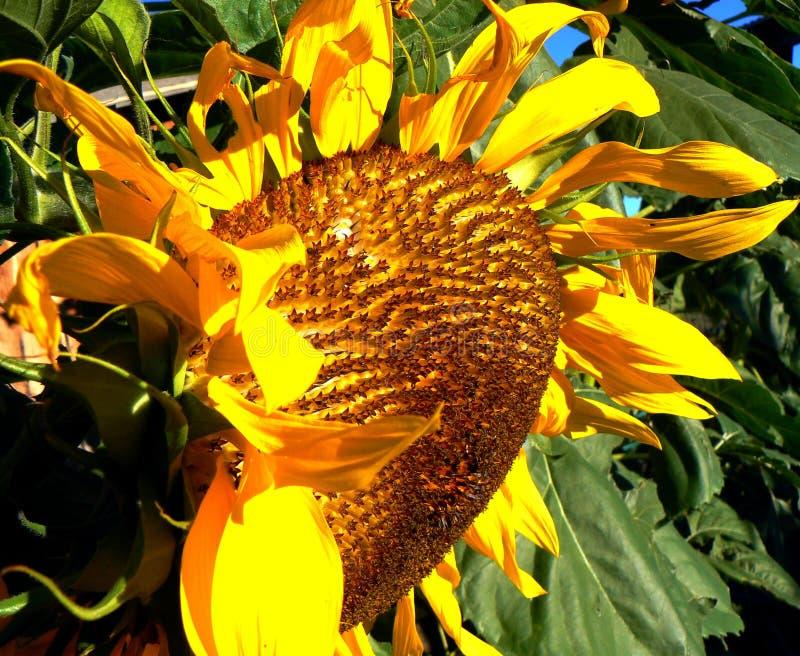 September Sunflower stock photos